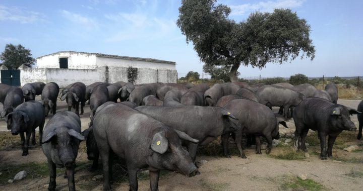 Cerdos ibéricos de Montesierra