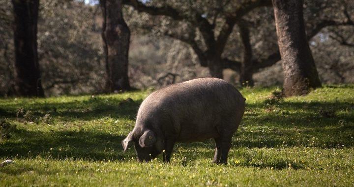 Cerdos Ibéricos de Montesierra en la Dehesa